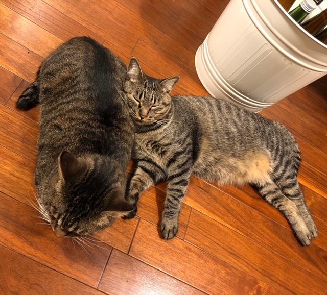雑種猫・がんくんとサンちゃんが仲良く横たわっている様子
