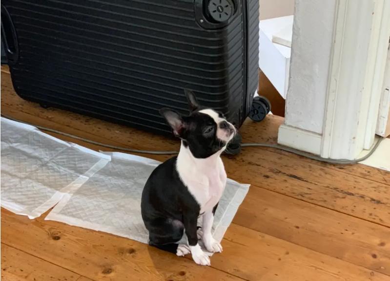 エアコンの風を感じている犬・ボストンテリアのへちまちゃん