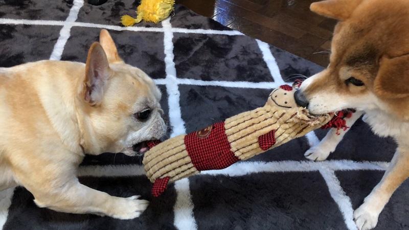 おもちゃの取り合いをする犬・まつこ