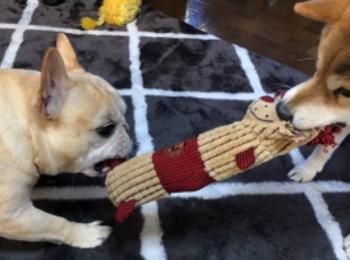 【今日のわんこ】まつこ、ポンちゃんとおもちゃの取り合いに