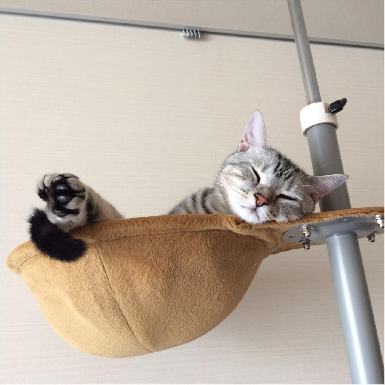 【今日のにゃんこ】ハンモックみたい♪ アランくんはキャットタワーでお昼寝中_1