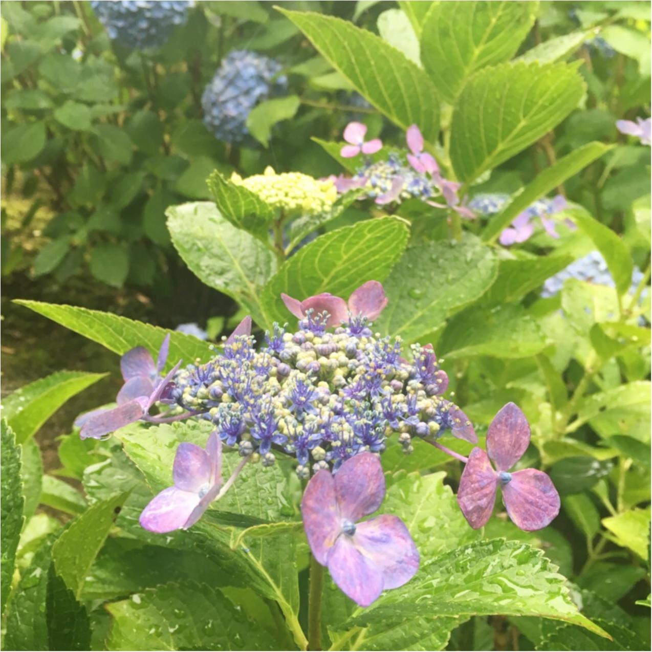 梅雨の時期に見たい♪紫陽花の名所へおでかけ…*見つけたハートの紫陽花♡_8
