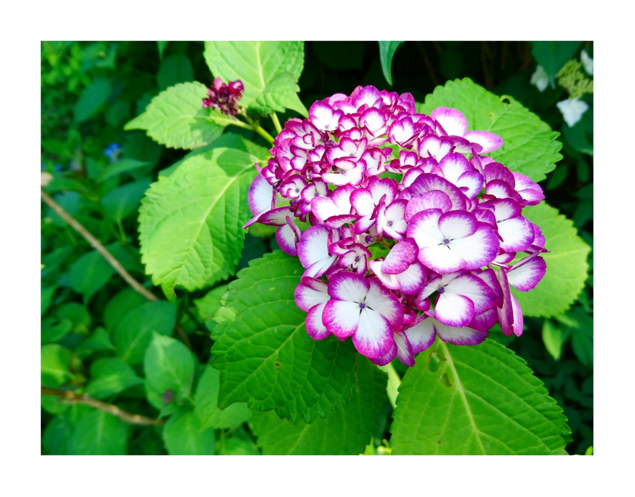 【散策】新緑が美しいこの季節は、鎌倉がおすすめ! ~ 紫陽花が見頃です ~  _1