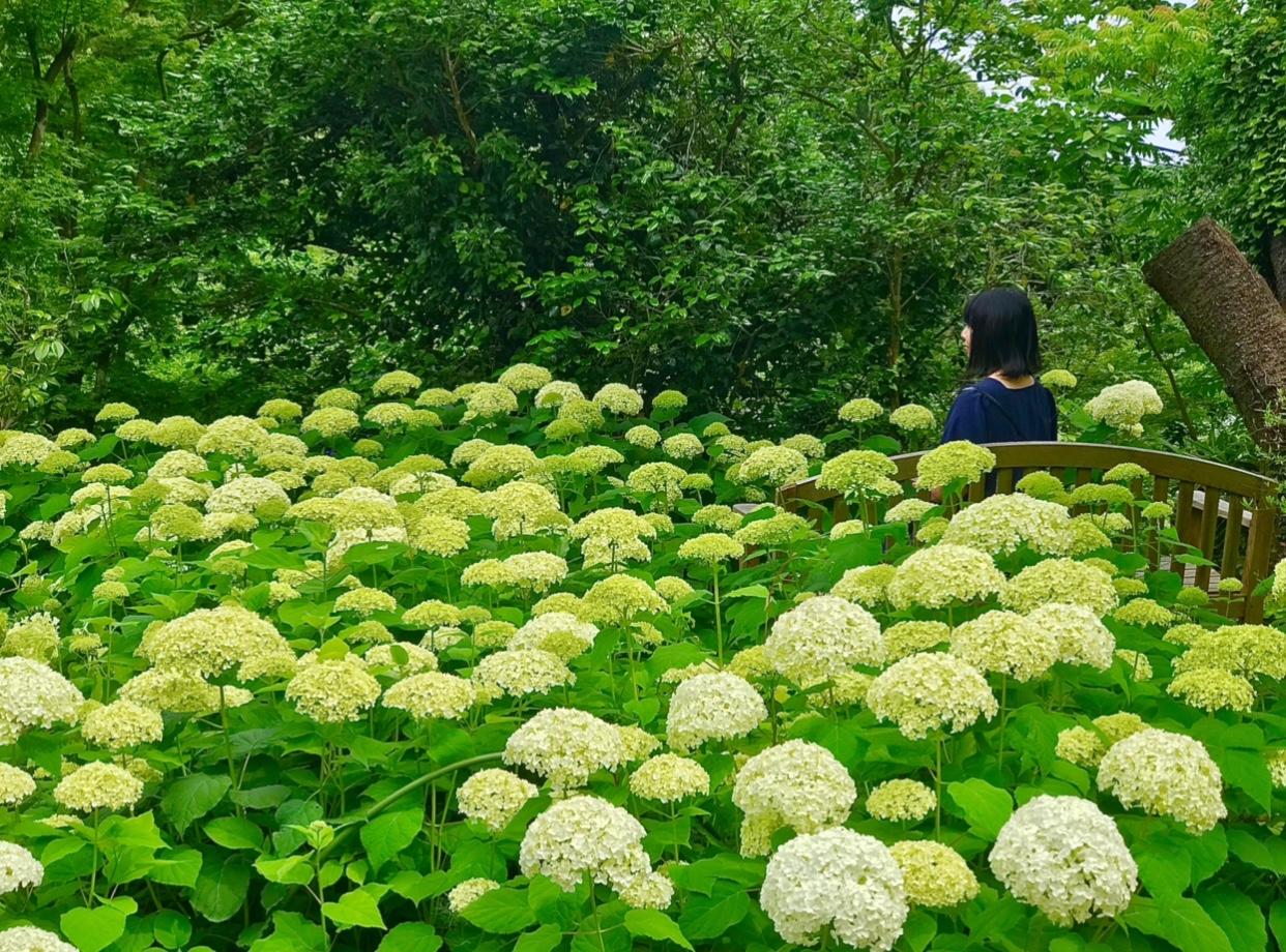 【デートにも女子旅にもおすすめ】 白いあじさい畑×静かな茶室でのティータイム _4