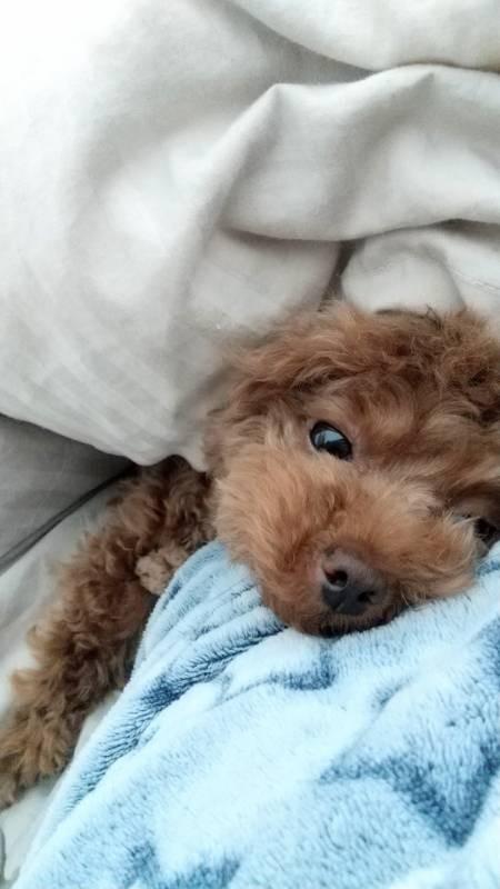 【今日のわんこ】テテちゃん、甘えん坊モードでベッドにIN!_1