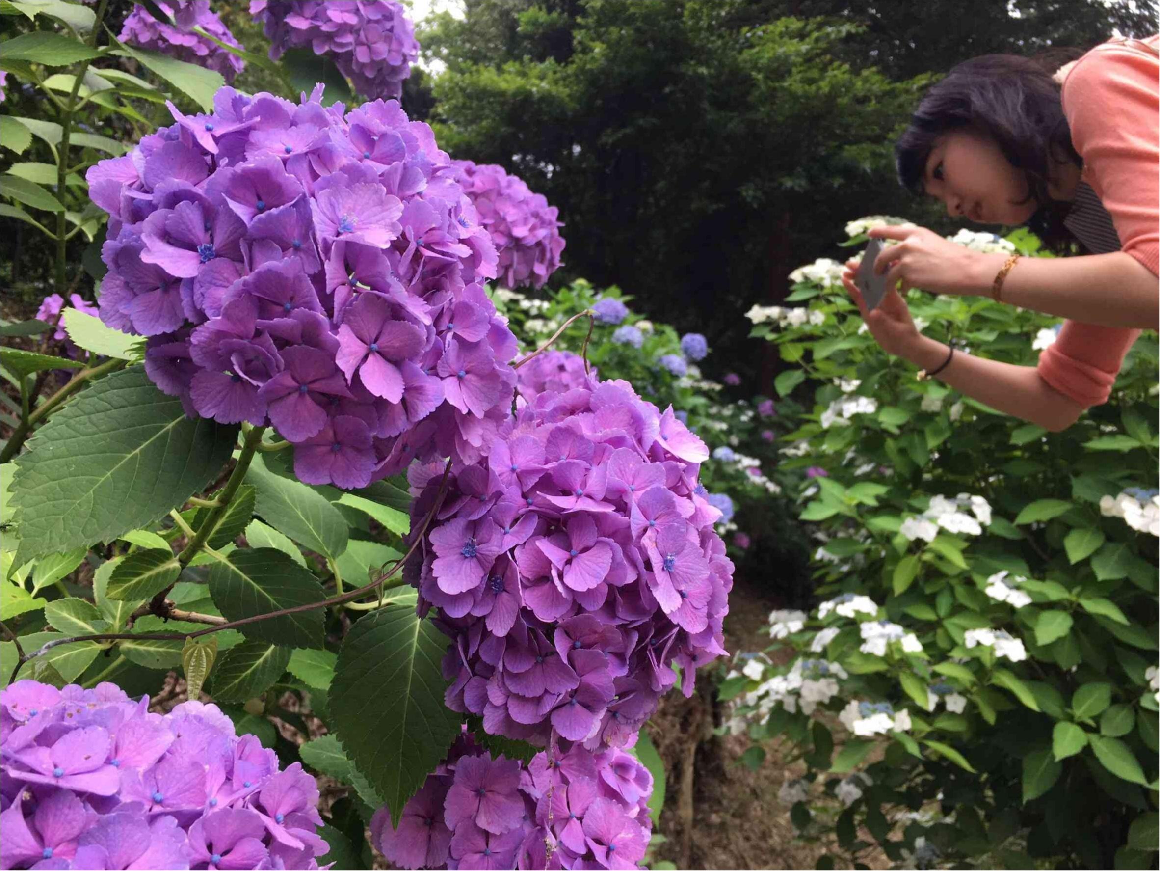 鎌倉で紫陽花探し_3