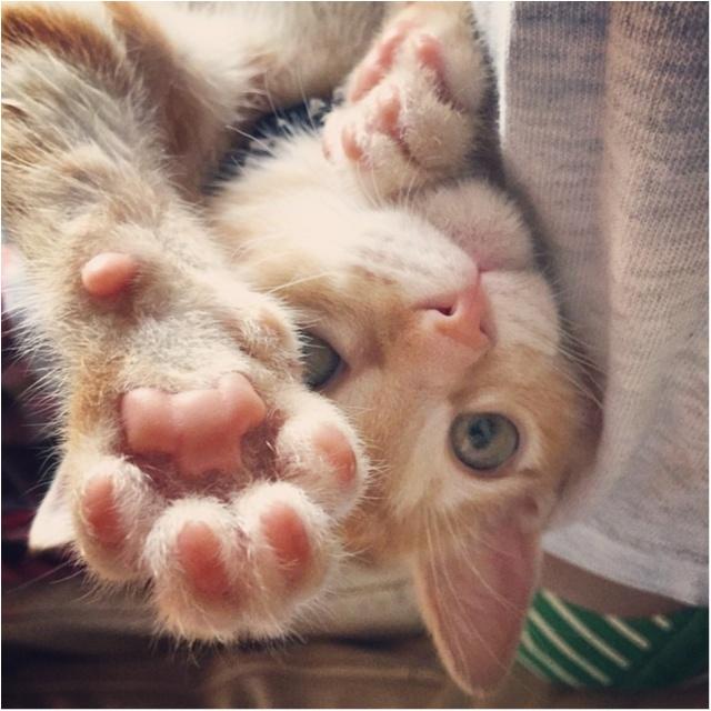 【今日のにゃんこ】ぼく強いんだから! ぽぽくんの猫パンチがさく裂★_1