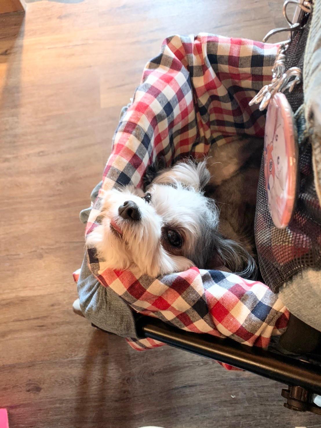 チワワとマルチーズのミックス犬・太郎君がカートに乗っている様子