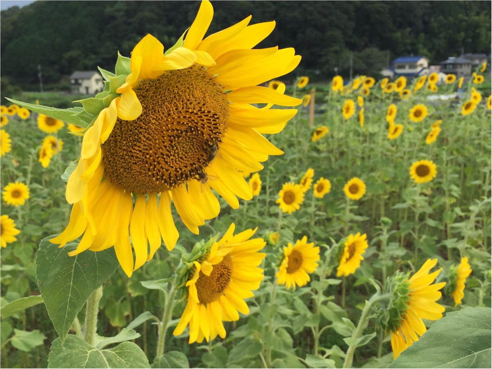 夏だ!8月だ!満開のひまわり畑へ!_5