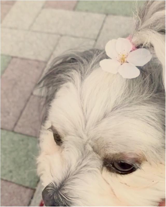 【今日のわんこ】ちょこんとサクラが♡ 春を満喫した太郎くん_1