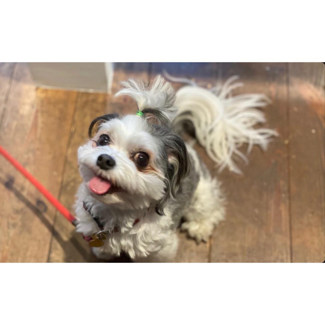 チワワとマルチーズのミックス犬・太郎君がカフェで店員さんとお話ししている様子