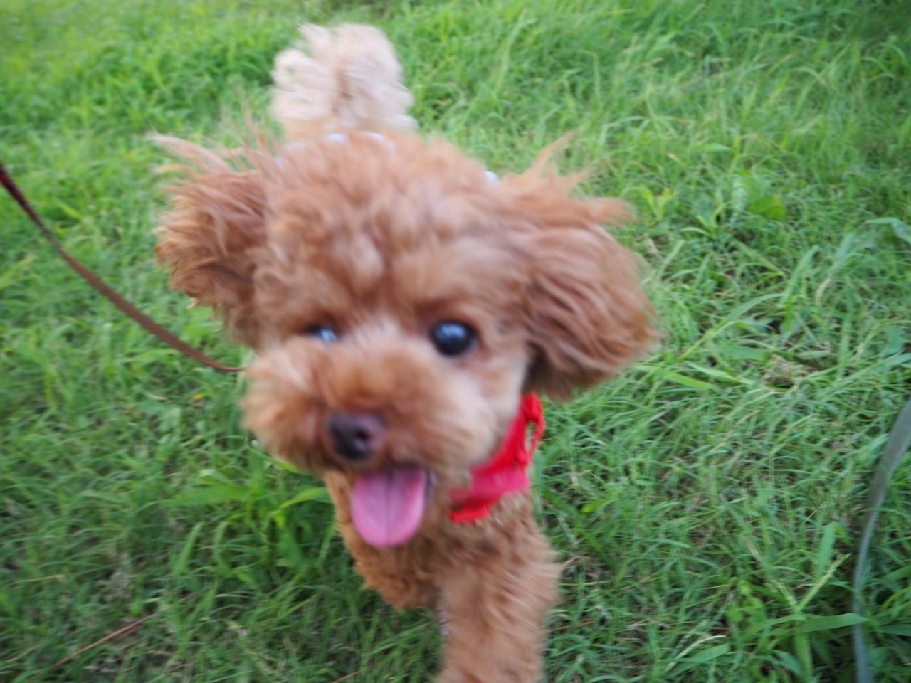 公園で走り回る犬・テテちゃん