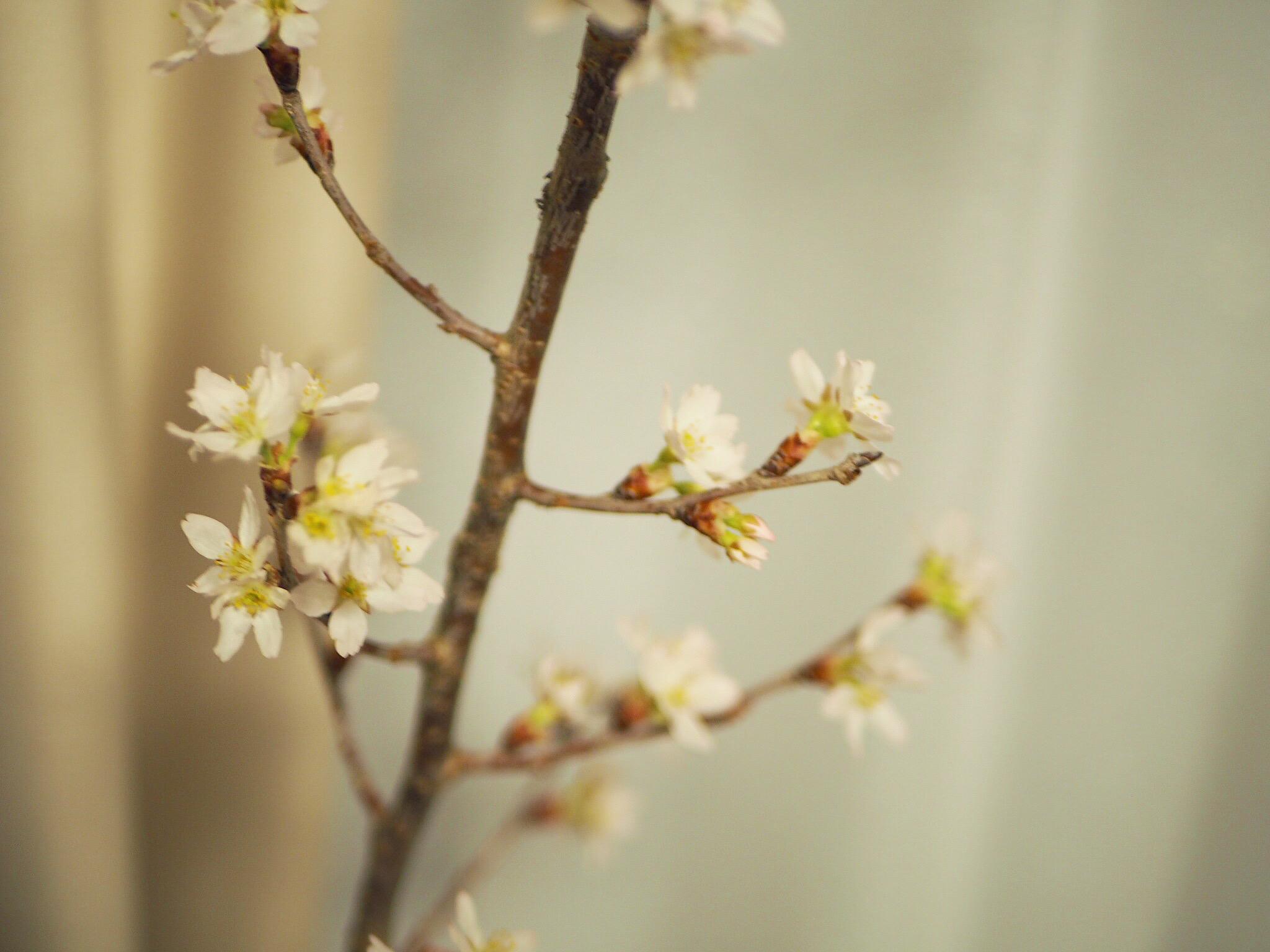 【おうちでお花見♡】AOYAMA FLOWER MARKETの桜が咲きました♩_6