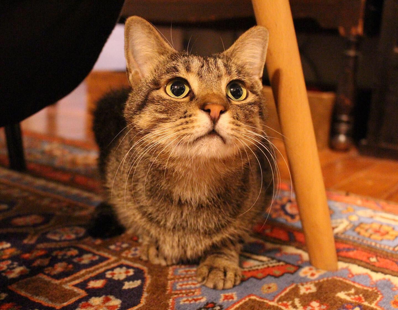 椅子の下に隠れて、おもちゃを見つめる猫、雑種・がんくん