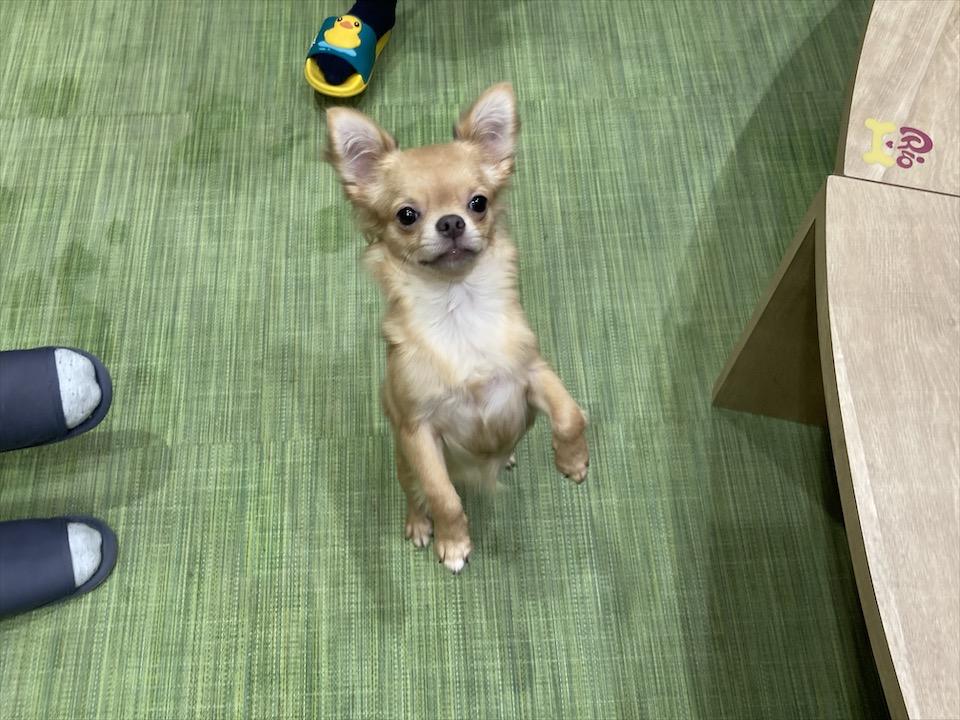【わんこ好きさん必見!】puppy cafe RIO行ってきました♡癒されまくりスポット!_6