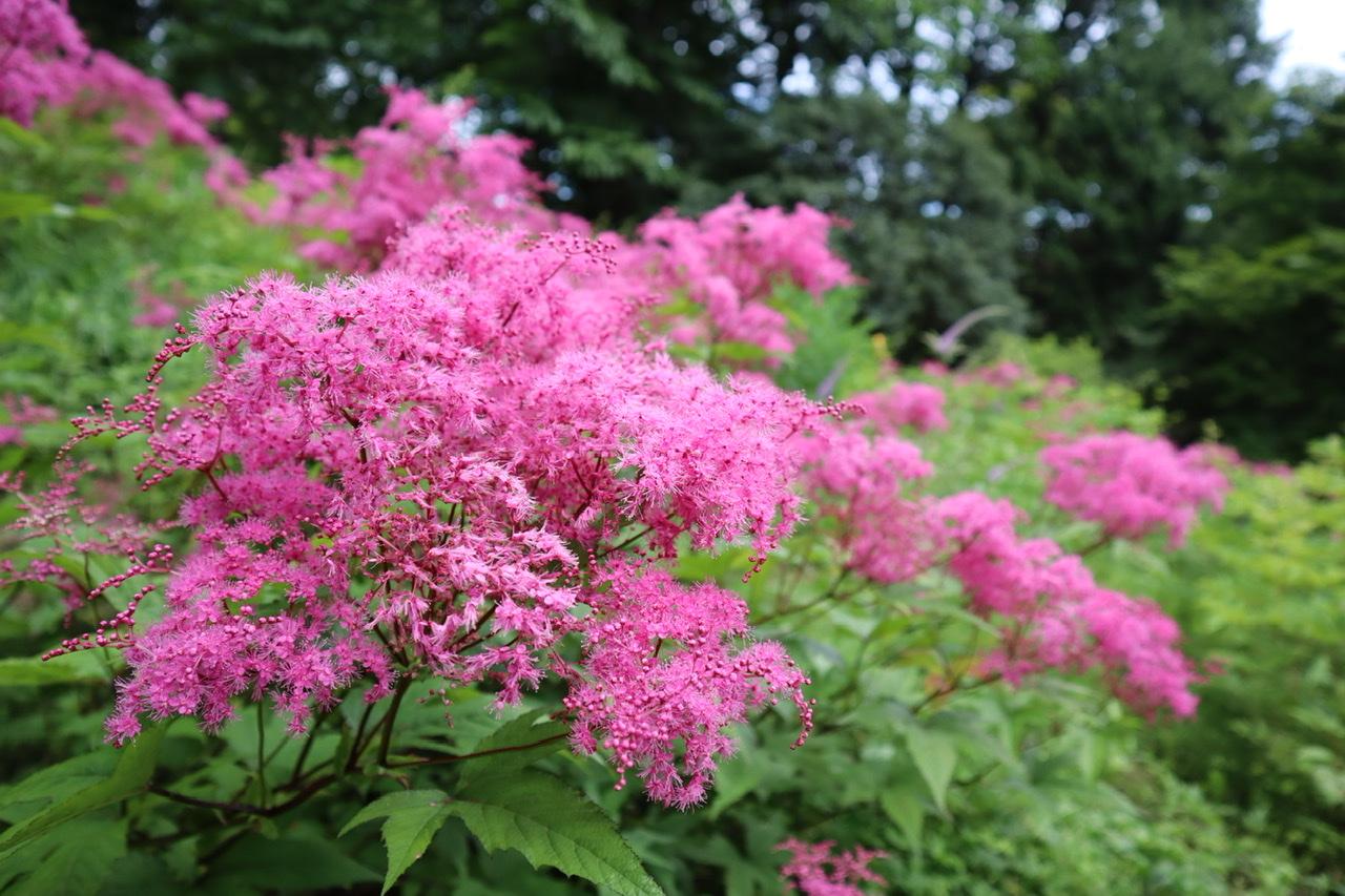 コシジシモツケソウという花。濃いショッキングピンクで、小さい花がいくつも重なり、ブラシのように広がっている