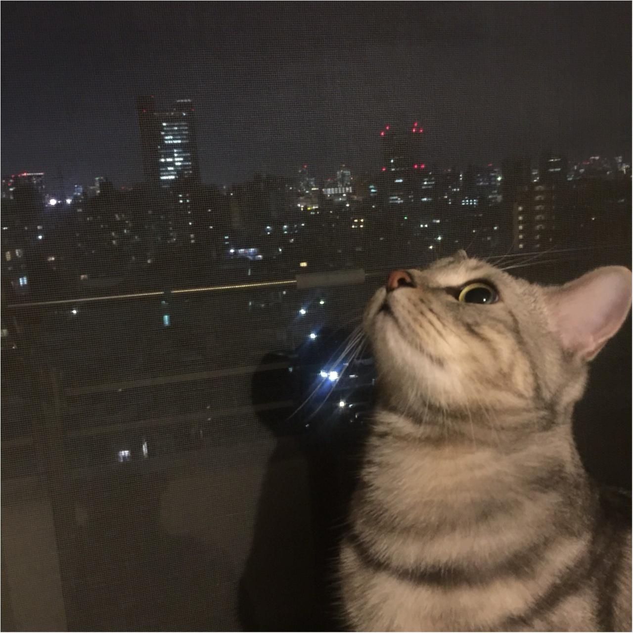【今日のにゃんこ】素敵な夜を♡ アランくんと夜景のコラボレーション♪_1
