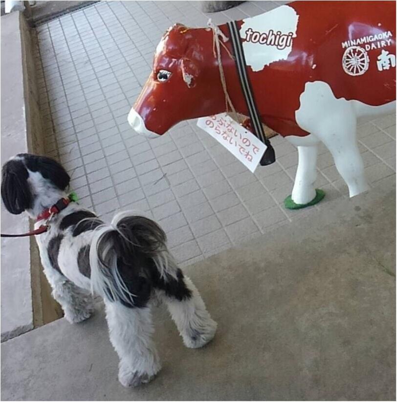 【今日のわんこ】何見てるの? アイビーくんと赤い牛さん_1