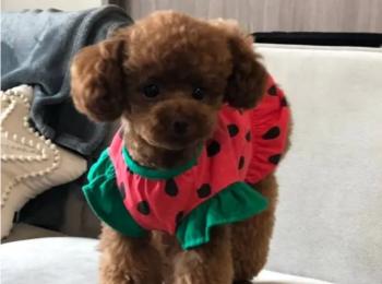 【今日のわんこ】すいかの犬ドレスがお似合いな、テテちゃん