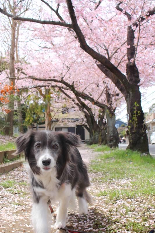 桜の下を歩く犬・メルちゃん