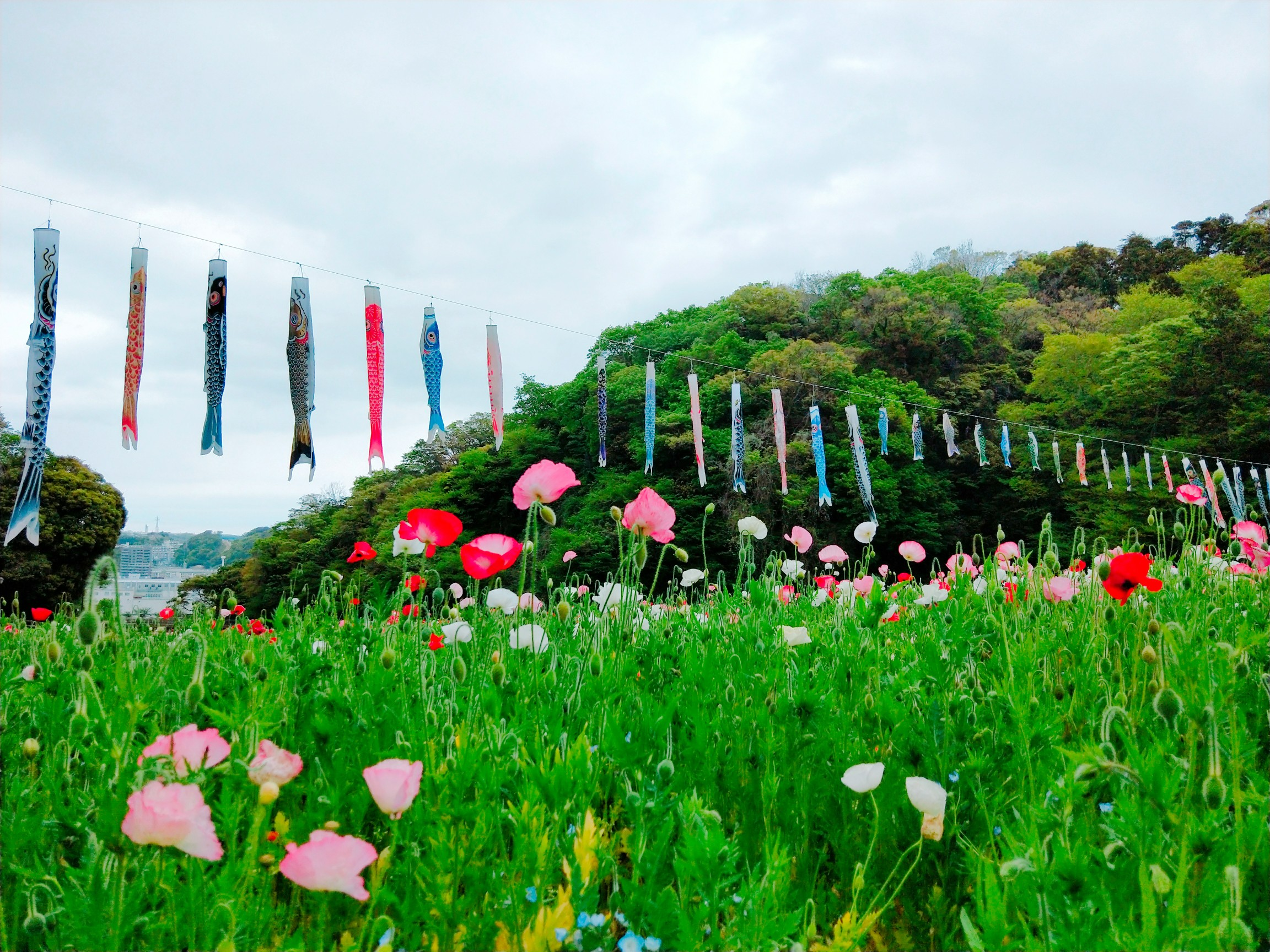 神奈川県でも見られる!ネモフィラ✿ポピー祭りも開催中!_5