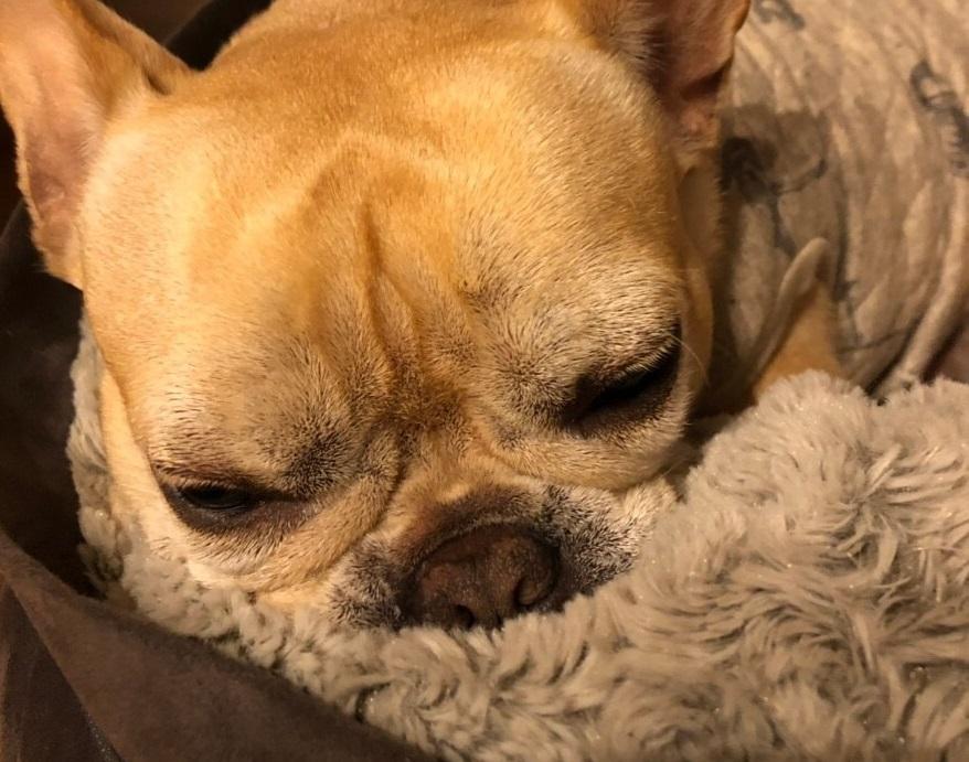【今日のわんこ】まつこは、もこもこ布団でまだまだ冬眠していたい!_1