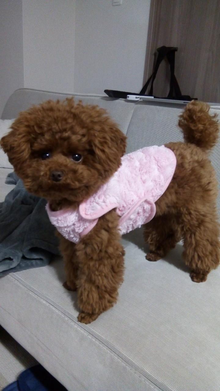 """【今日のわんこ】テテちゃん、ピンクの""""着る毛布""""がお似合い_1"""