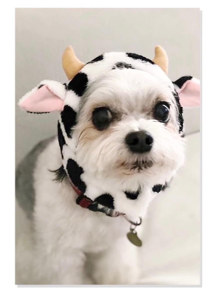 牛のコスプレをしたチワワとマルチーズのミックス犬・太郎君