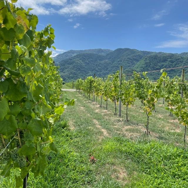 カーブドッチワイナリー 葡萄畑