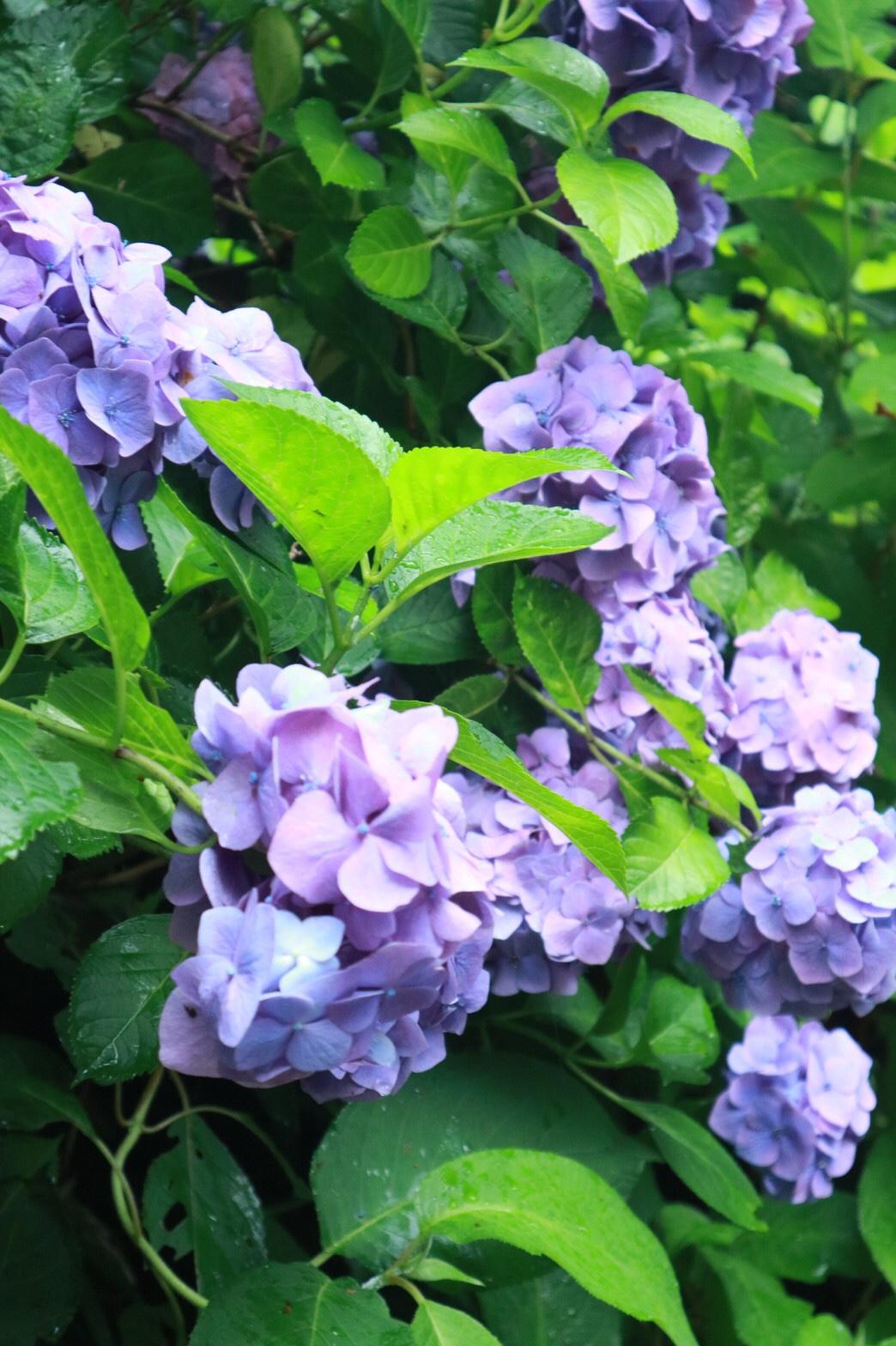 夏着物で鎌倉女子旅♡  紫陽花がとっても綺麗でした♡_7