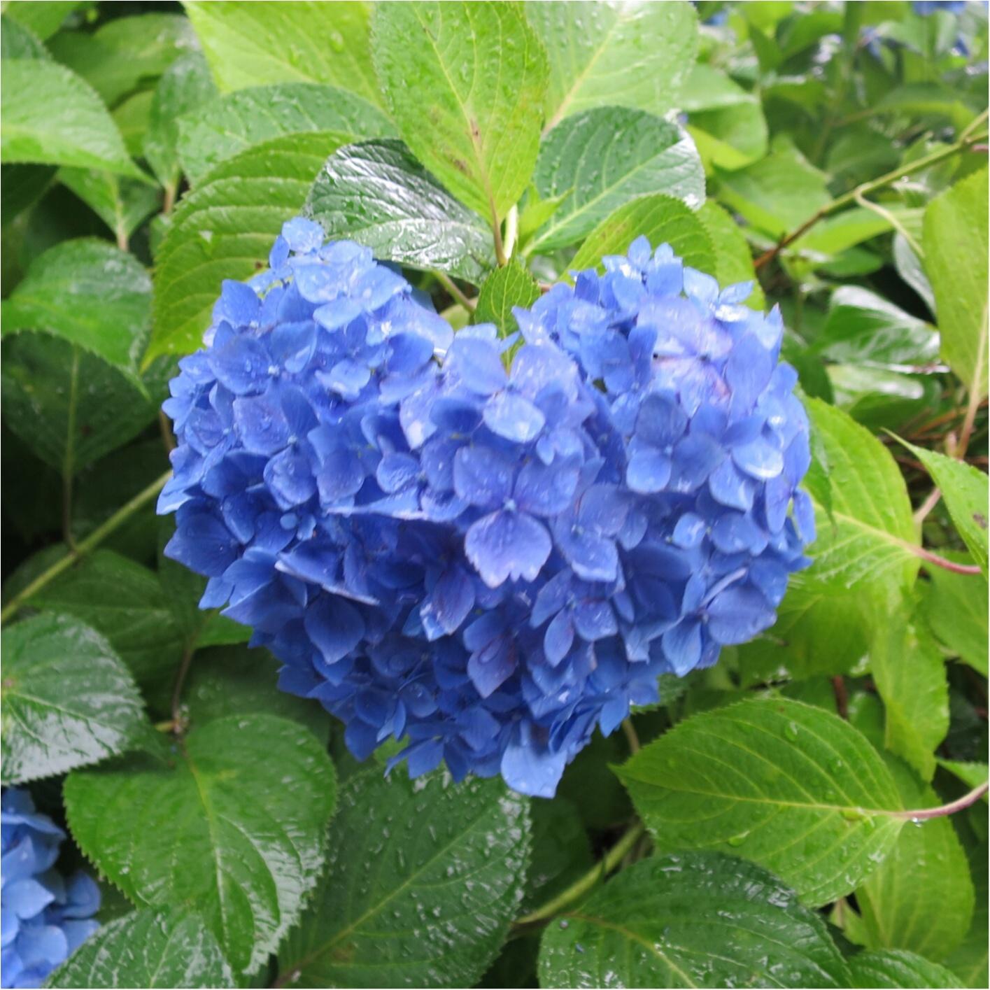 梅雨の時期に見たい♪紫陽花の名所へおでかけ…*見つけたハートの紫陽花♡_9