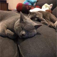 【今日のにゃんこ】涼しい部屋でぐっすりおやすみ♡ ムクくんとレオくん