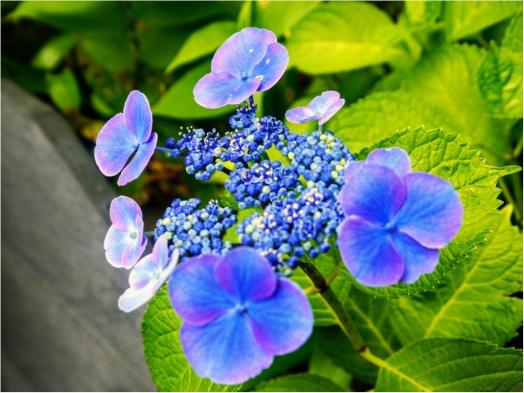 """まだ間に合うかも!?【鎌倉】の """" 紫陽花 """" を観て、心をリフレッシュしてみてはいかがでしょうか?_3"""