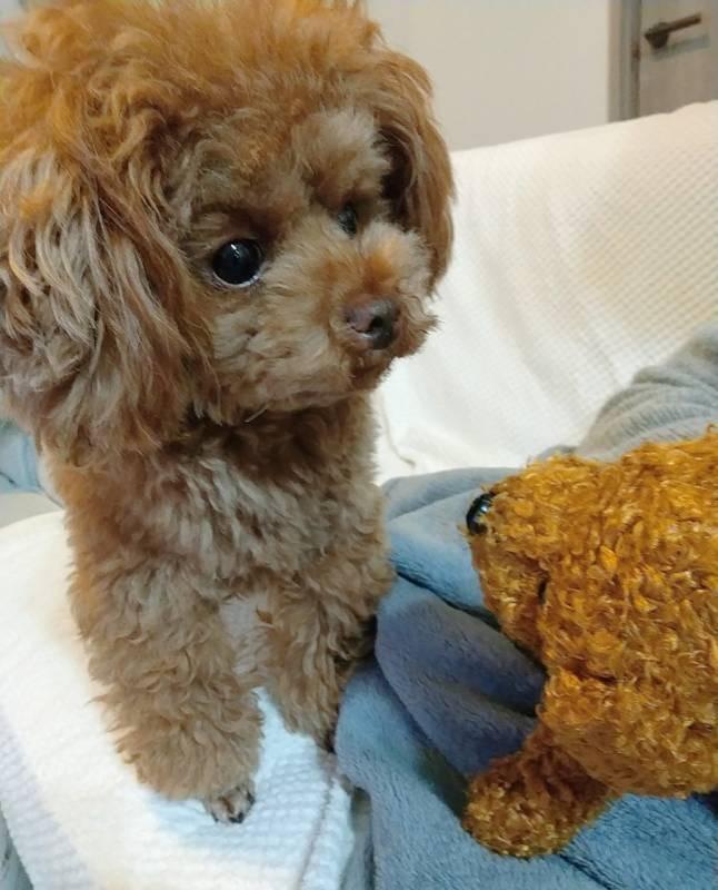 布団の上に座る犬・テテちゃんとぬいぐるみ