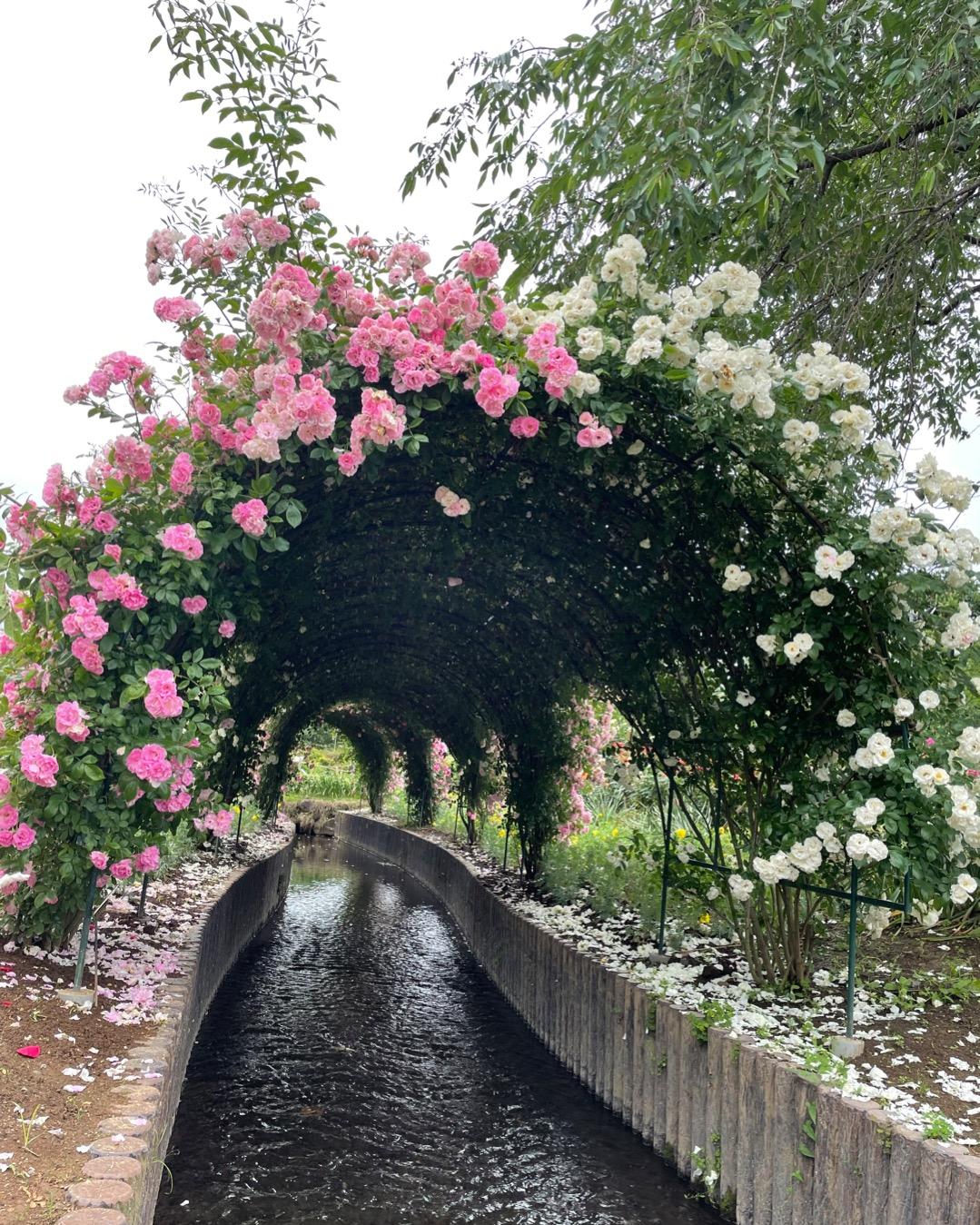 【薔薇満開】あしかがフラワーパークに行ってきました_2