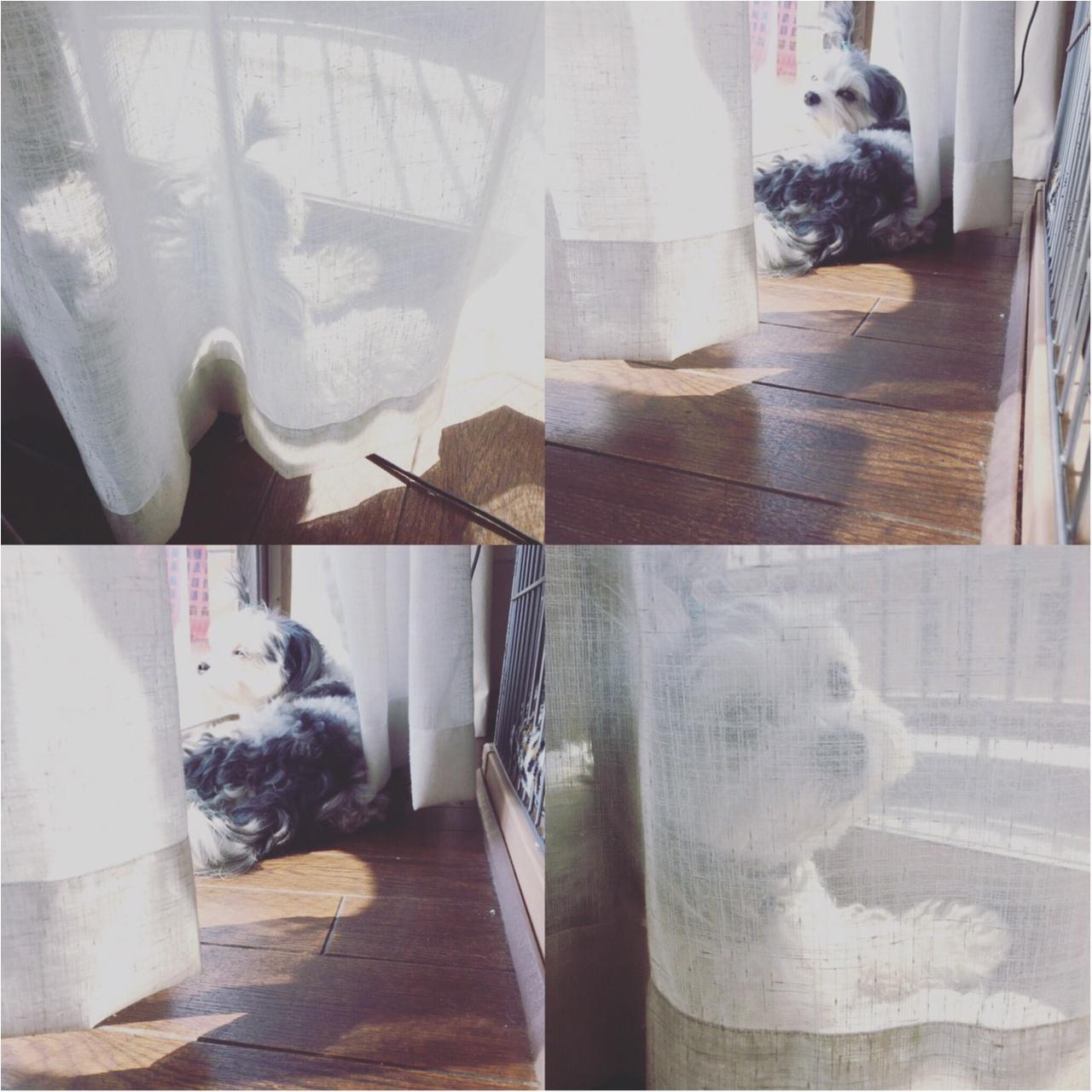 【今日のわんこ】春風に吹かれて♡ 太郎くんは、窓辺でたそがれ中♪_1