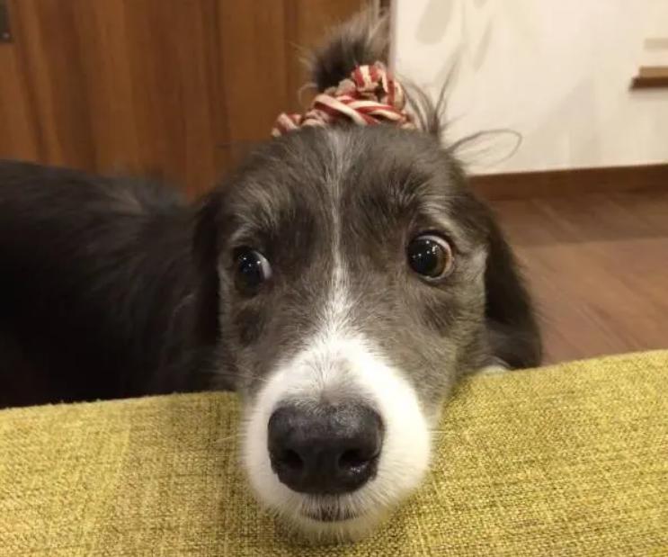 耳を結ばれて驚く犬。ボーダーコリーのメルちゃん