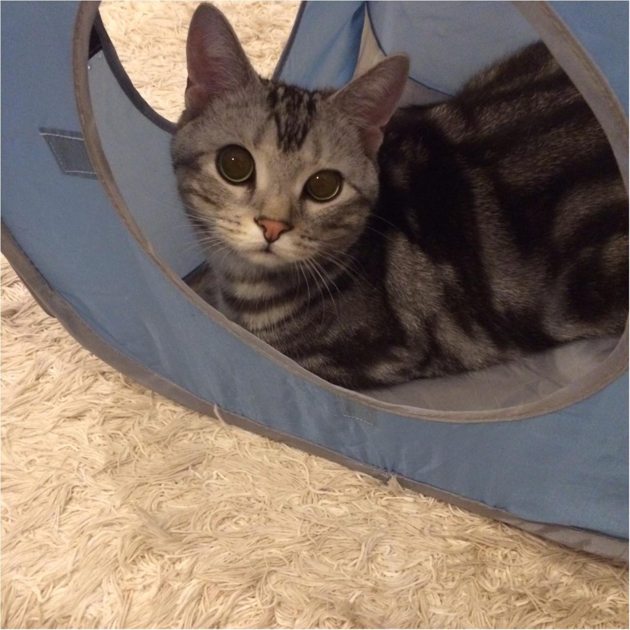 【今日のにゃんこ】君も入ってみる? アランくんは猫テントでまったり中_1