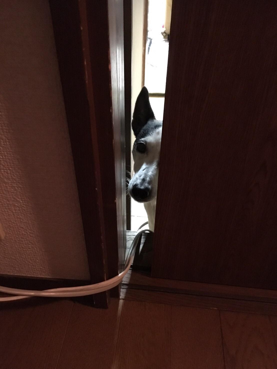 【今日のわんこ】テツくん、なかなか出てこない飼い主をのぞく_1