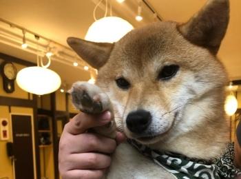 わんこ好きにおすすめ♡浅草の豆柴カフェに行ってきました