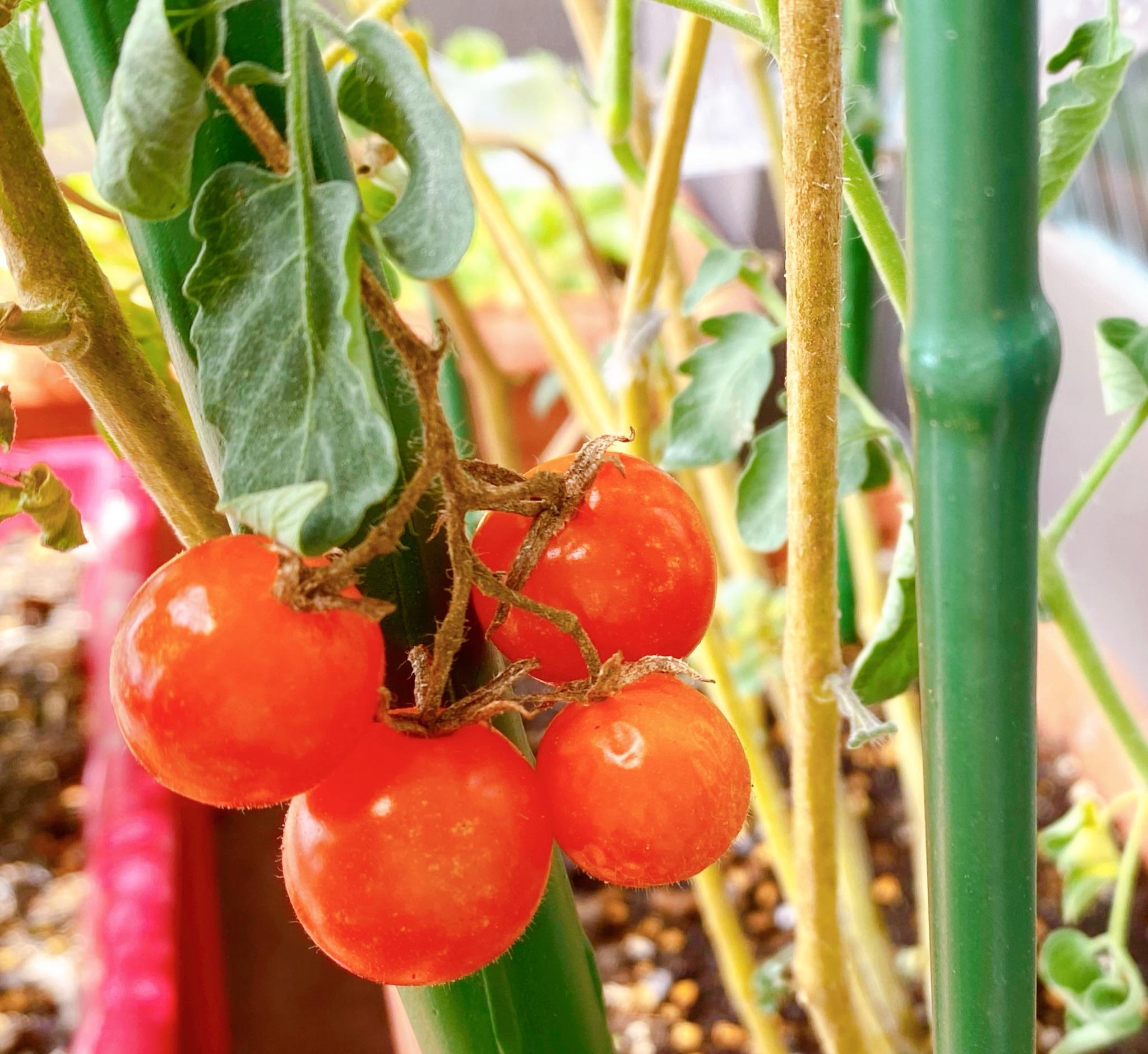 【ゆとり農園、収穫!】ベランダ夏野菜でおうち時間のおうちご飯_2