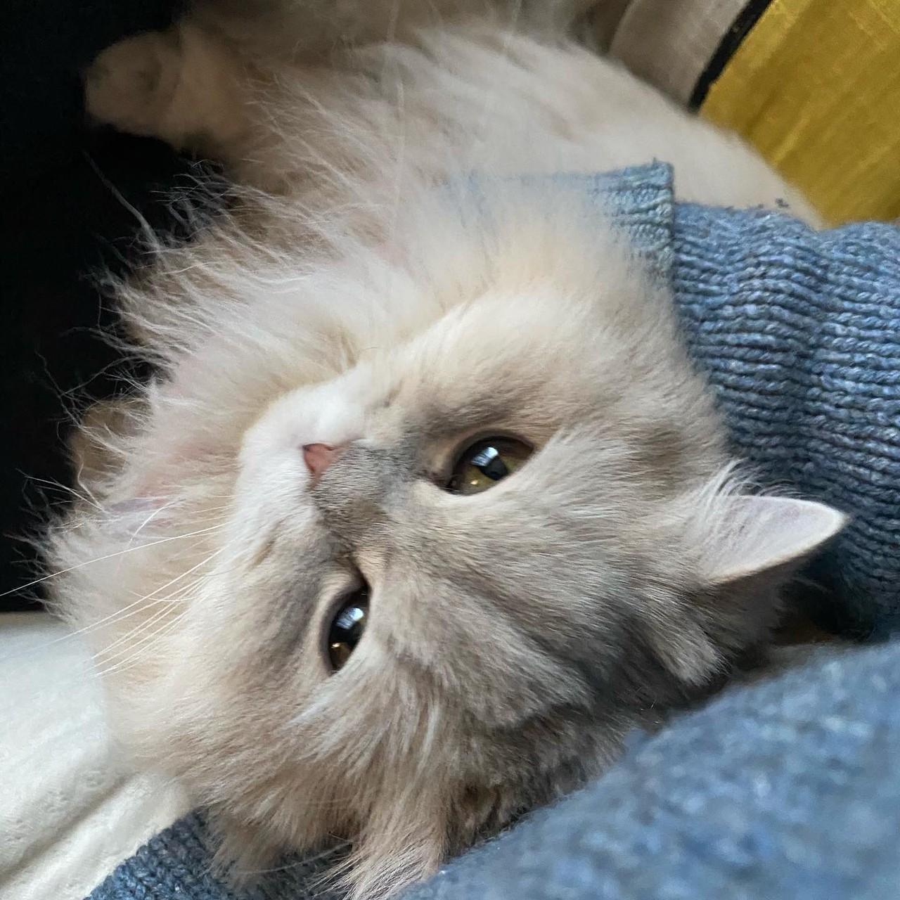膝の上で甘える猫・ココンちゃん