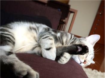 【今日のにゃんこ】どんな夢をみてるの? 寝相がすごいアランくん