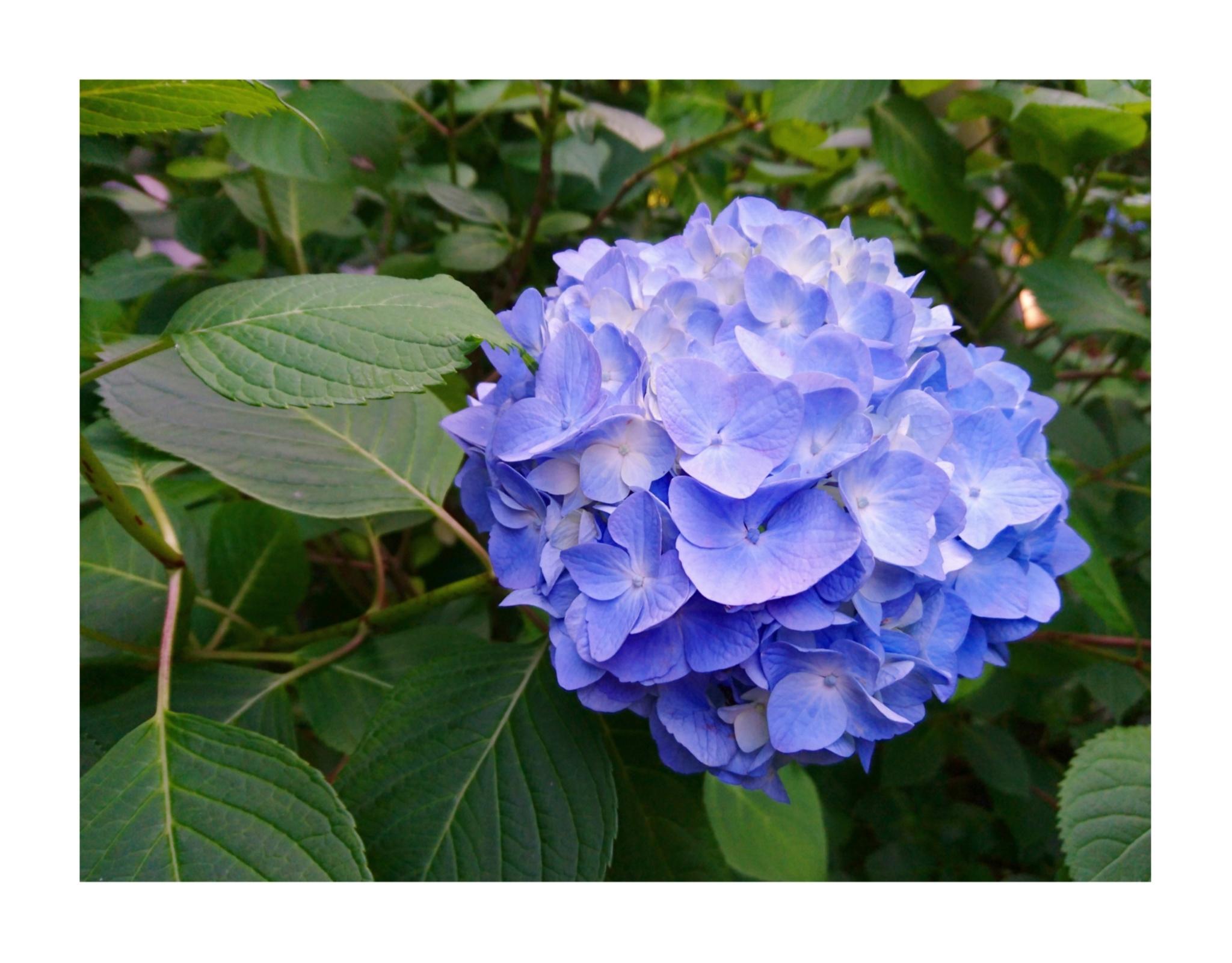 【散策】新緑が美しいこの季節は、鎌倉がおすすめ! ~ 紫陽花が見頃です ~  _7