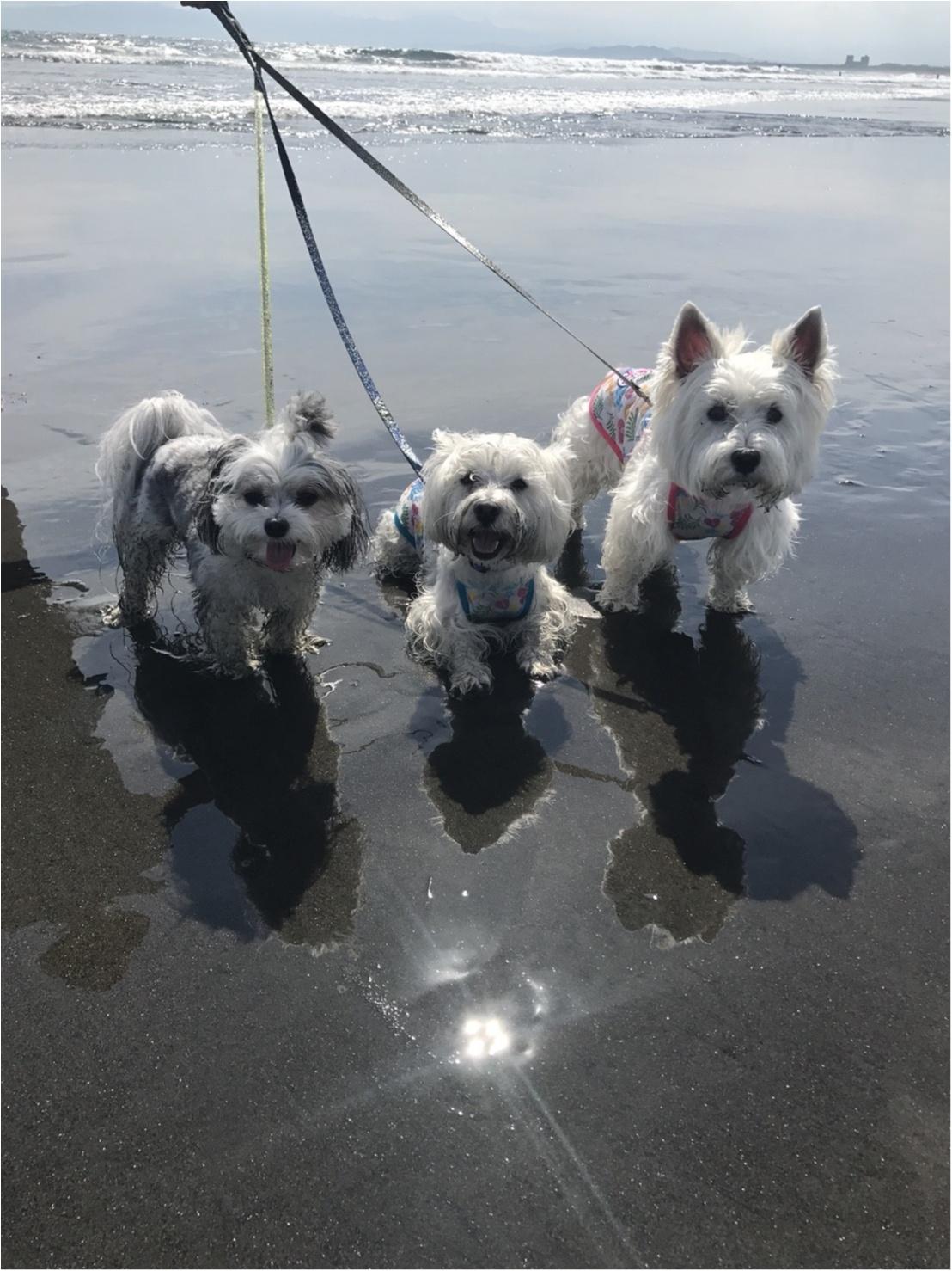 【今日のわんこ】夏の思い出♪ お友達と海に来た太郎くん!_1