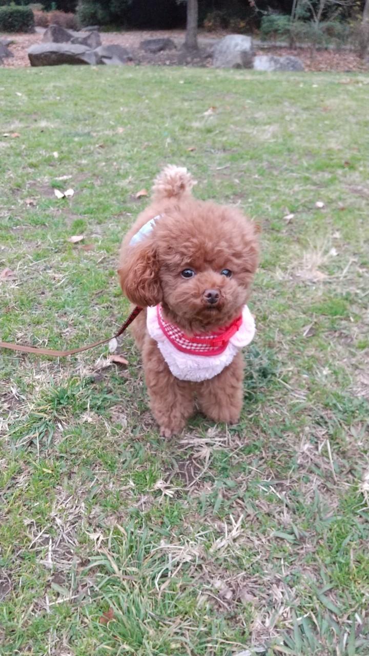 【今日のわんこ】芝生の公園に遊びにきた! テテちゃん_1