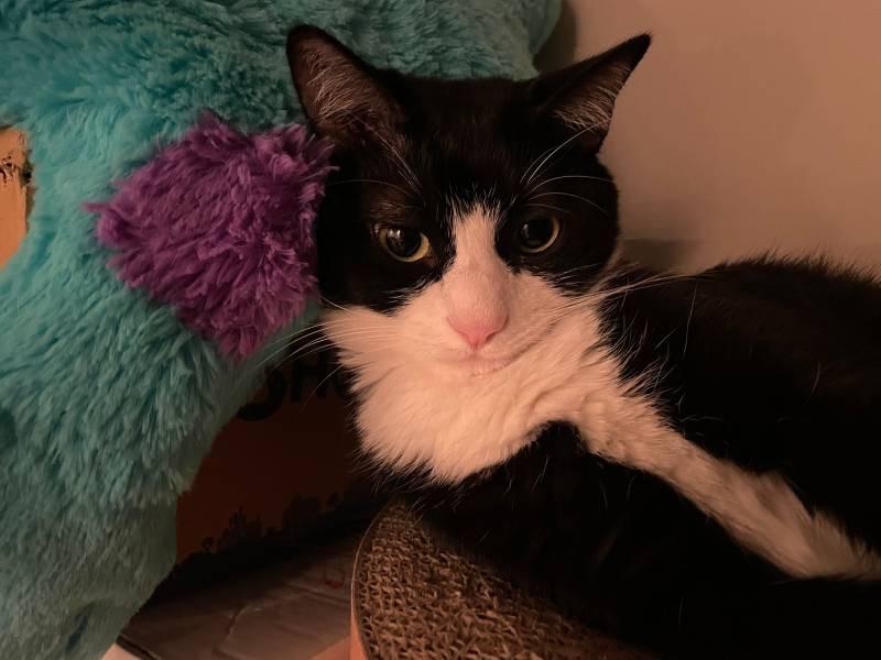 ぬいぐるみを枕にしている猫・ルウくん