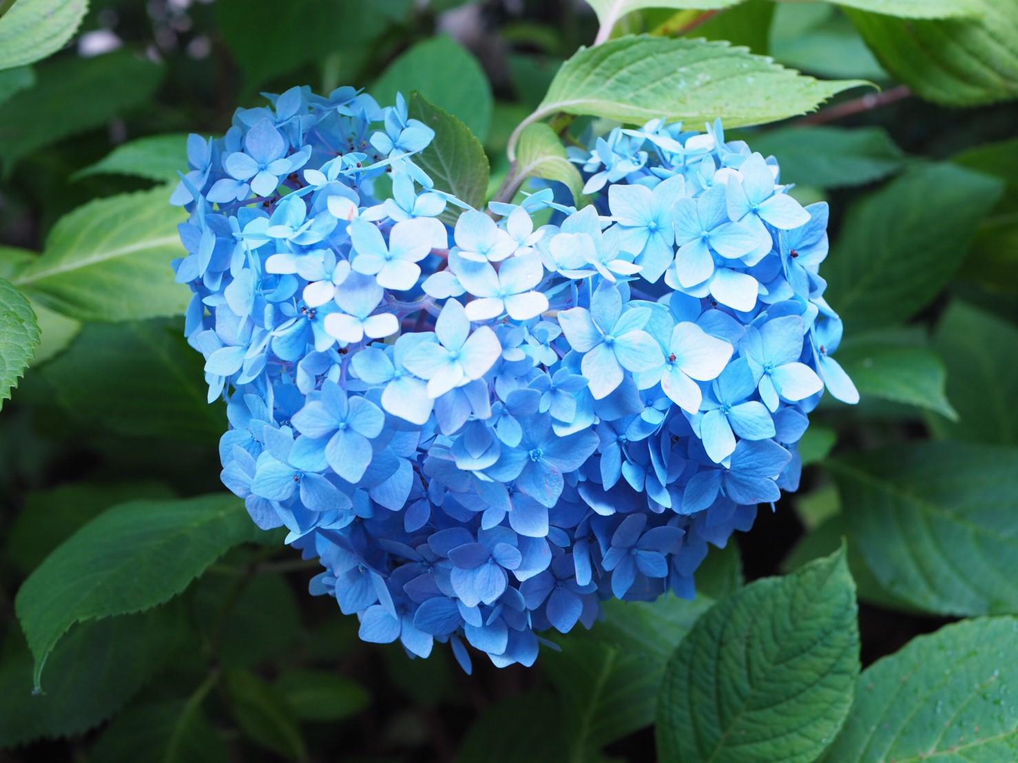【6月鎌倉旅】#明月院ブルー あじさいの旅♩ _6