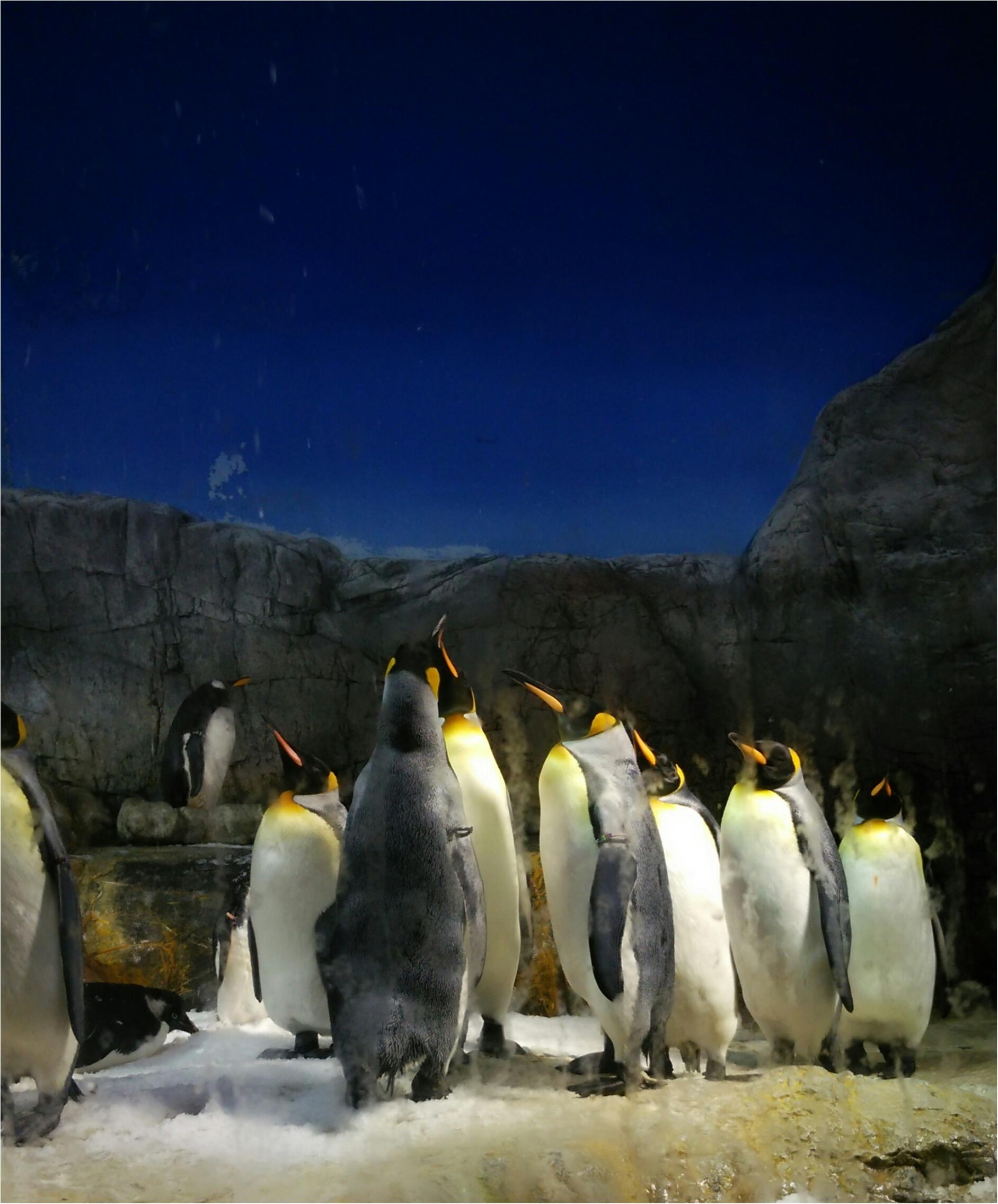 とっても可愛い!【海遊館】でペンギンの赤ちゃんが生まれましたよ!!(443 まゆ_10