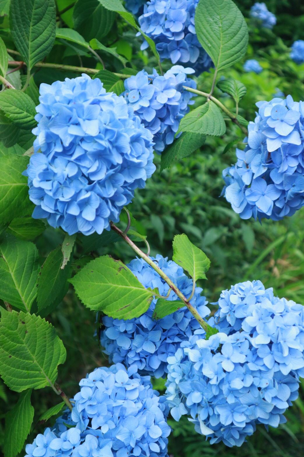 夏着物で鎌倉女子旅♡  紫陽花がとっても綺麗でした♡_6